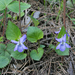 Common Dog-Violet - Photo no rights reserved