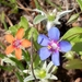 Scarlet Pimpernel - Photo (c) Larbi Afoutni, some rights reserved (CC BY-NC-ND)