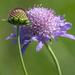 Sixalix atropurpurea - Photo (c) kenttrulsson,  זכויות יוצרים חלקיות (CC BY-NC)