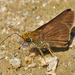 Euphyes vestris - Photo (c) Aaron Carlson, algunos derechos reservados (CC BY), uploaded by aarongunnar