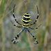 Araña Avispa - Photo (c) Olesya Deineko, algunos derechos reservados (CC BY-NC)