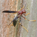 Metric Paper Wasp - Photo (c) Monica Krancevic, some rights reserved (CC BY-NC)