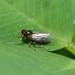 Isodelphax nigridorsum - Photo (c) Margarita Lankford, alguns direitos reservados (CC BY-NC)