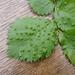 Aceria campestricola - Photo (c) foxandcubs, algunos derechos reservados (CC BY-NC)