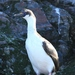 Phalacrocorax georgianus - Photo (c) Liam Quinn, alguns direitos reservados (CC BY-SA)