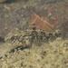Redigobius bikolanus - Photo (c) H.T.Cheng, osa oikeuksista pidätetään (CC BY-NC)