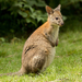 Red-necked Pademelon - Photo (c) Yu Ching Tam, some rights reserved (CC BY-NC-ND)