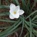 Zephyranthes drummondii - Photo (c) Emma Louise McKenzie, alguns direitos reservados (CC BY-NC)