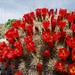 Echinocereus mojavensis - Photo (c) Tony Frates, algunos derechos reservados (CC BY-NC-SA)