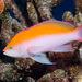 Pseudanthias bicolor - Photo (c) DavidR.808, μερικά δικαιώματα διατηρούνται (CC BY-NC), uploaded by David R