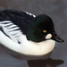 Goldeneyes and Bufflehead - Photo (c) Gidzy, some rights reserved (CC BY)
