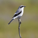 Typical Shrikes - Photo (c) Steve Berardi, some rights reserved (CC BY-SA)