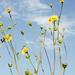 Silphium terebinthinaceum - Photo (c) Frank Mayfield, alguns direitos reservados (CC BY-SA)
