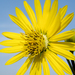 Silphium - Photo (c) Frank Mayfield, some rights reserved (CC BY-SA)