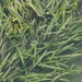 Eel-Grass - Photo (c) 葉子, some rights reserved (CC BY-NC-ND)