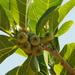 Ficus septica - Photo (c) 葉子, algunos derechos reservados (CC BY-NC-ND)