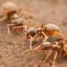 Lasius americanus - Photo (c) Steven Wang, algunos derechos reservados (CC BY-NC)