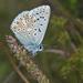 Polyommatus coridon - Photo (c) Anne SORBES,  זכויות יוצרים חלקיות (CC BY-NC-SA), uploaded by Anne Sorbes