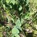 Baptisia arachnifera - Photo (c) Cheyenne Lee,  זכויות יוצרים חלקיות (CC BY-NC)