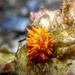 Phestilla melanobrachia - Photo (c) crawl_ray,  זכויות יוצרים חלקיות (CC BY-NC)