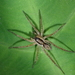 Pond Wolf Spider - Photo (c) Dickson Wong, some rights reserved (CC BY-NC)