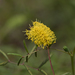 Yellow Puff - Photo (c) desertbum, some rights reserved (CC BY-NC)