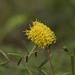 Neptunia lutea - Photo (c) desertbum, algunos derechos reservados (CC BY-NC)