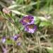 Chaenorrhinum origanifolium - Photo (c) guillaume_papuga, algunos derechos reservados (CC BY-NC)