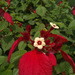 Mussaenda erythrophylla - Photo (c) 106611639464075912591, μερικά δικαιώματα διατηρούνται (CC BY-NC-SA), uploaded by Jonathan Hiew