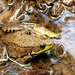 Northern Green Frog - Photo (c) Matt Reinbold, some rights reserved (CC BY-SA)