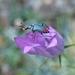 Ceratistes dilaticornis - Photo (c) katerinakalogerini,  זכויות יוצרים חלקיות (CC BY-NC)