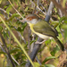 Rufous-browed Peppershrike - Photo (c) Oswaldo Hernández, some rights reserved (CC BY-NC)