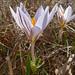 Crocus reticulatus - Photo (c) Amadej Trnkoczy, some rights reserved (CC BY-NC-SA)