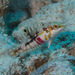 Cloud Wrasse - Photo (c) Mark Rosenstein, some rights reserved (CC BY-NC-SA)