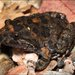 Tusked Frog - Photo (c) teejaybee, some rights reserved (CC BY-NC-ND)