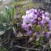 Phoenicaulis cheiranthoides - Photo (c) Thayne Tuason, algunos derechos reservados (CC BY-NC)