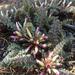 Pedicularis centranthera - Photo (c) Joan, algunos derechos reservados (CC BY-NC)