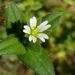 Mouse-ear Chickweed - Photo (c) Kelly Beller, some rights reserved (CC BY-NC)