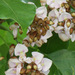 Derris trifoliata - Photo (c) 106611639464075912591,  זכויות יוצרים חלקיות (CC BY-NC-SA), uploaded by Jonathan Hiew