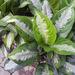 Aglaonema nitidum - Photo (c) 106611639464075912591, algunos derechos reservados (CC BY-NC-SA), uploaded by Jonathan Hiew