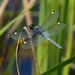 Spangled Skimmer - Photo (c) John B., some rights reserved (CC BY)
