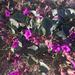 Mirabilis multiflora pubescens - Photo (c) leslie_fs, algunos derechos reservados (CC BY-NC)