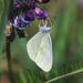 Cryptic Wood White - Photo (c) Owen Beckett, some rights reserved (CC BY-NC-ND)