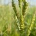 Barnyardgrass - Photo (c) Zdeňka Nováková, some rights reserved (CC BY-NC)