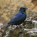 Black-bellied Starling - Photo (c) Francesco Veronesi, some rights reserved (CC BY-NC-SA)