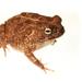 Sclerophrys - Photo (c) Brian Gratwicke, algunos derechos reservados (CC BY)