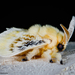 Black-waved Flannel Moth - Photo (c) ksandsman, some rights reserved (CC BY)