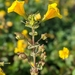 Magnificent Seep Monkeyflower - Photo (c) Christian Schwarz, some rights reserved (CC BY-NC)