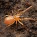 Corinnoid Spiders - Photo (c) Ryosuke Kuwahara, some rights reserved (CC BY-NC)