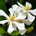 Gardenia jasminoides - Photo (c) 57Andrew, μερικά δικαιώματα διατηρούνται (CC BY-NC-ND)